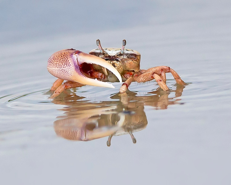 This photograph of an Fiddler Crab was captured in Bunche Beach Preserve, Florida (8/14). This photograph is protected by the U.S. Copyright Laws and shall not to be downloaded or reproduced by any means without the formal written permission of Ken Conger Photography.