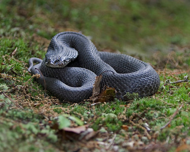 This is a photograph of a black phase of a Hognose snake.  The snake was discovered on my property in Lanexa, Virginia (5/08).   This photograph is protected by the U.S. Copyright Laws and shall not to be downloaded or reproduced by any means without the formal written permission of Ken Conger Photography.