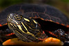 Reptile & Amphibian Gallery : A collection of reptile and amphibian images.