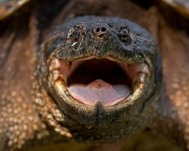 This head shot photograph of a Snapping Turtle was captured in a pond in Sussex County, VA (6/08).   This photograph is protected by the U.S. Copyright Laws and shall not to be downloaded or reproduced by any means without the formal written permission of Ken Conger Photography.