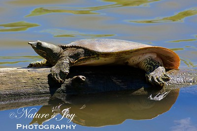 Florida Soft Shelled Turtle