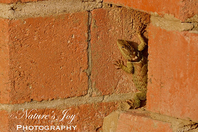Texas Collared Lizard