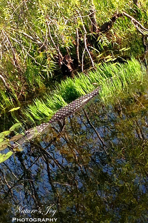 Alligator May 2013 Everglades NP, FL
