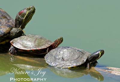 Red Eared Slider/Painted Turtle