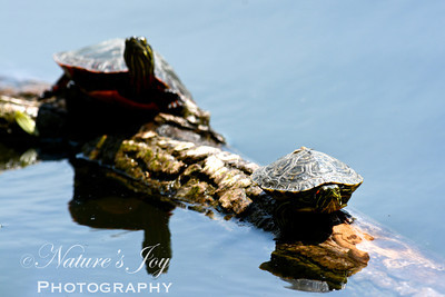Painted Turtle May 18, 2013 North Pond, Chicago, IL