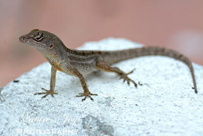 Brown Anole 11/12/13 Siesta Key, FL