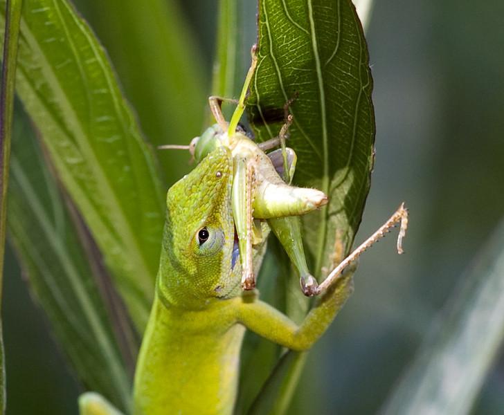 Green Anole stalks a grasshopper