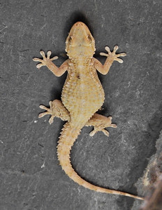 Morrish Gecko