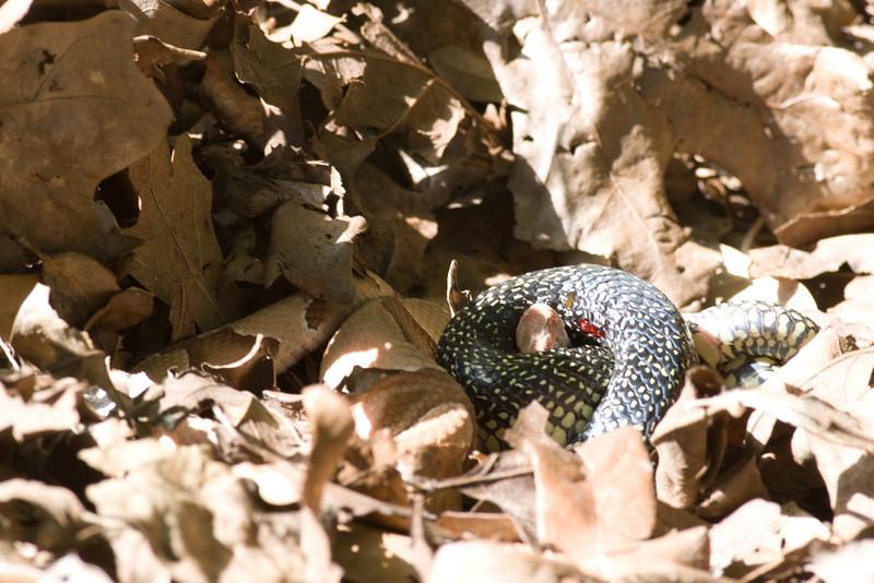 Speckled Kingsnake Lampropeltis holbrooki   &    Southern Copperhead Agkistrodon contortrix ssp. contortrix