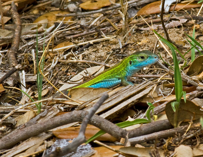 Prarie Racerunner (Cnemidophorus sexlineatus) lizards are fast and beautifully colored. This one was at Aransas National Wildlife Refuge.