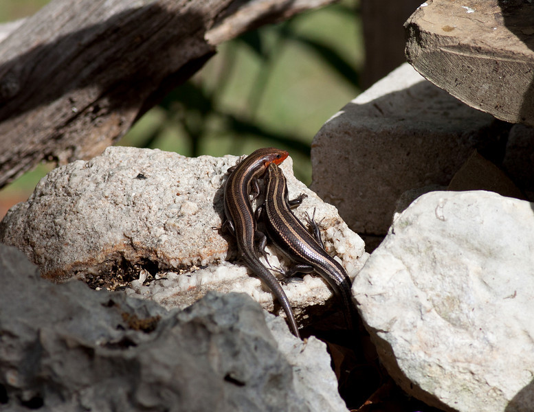 Breeding Pair of  Five Lined Skink