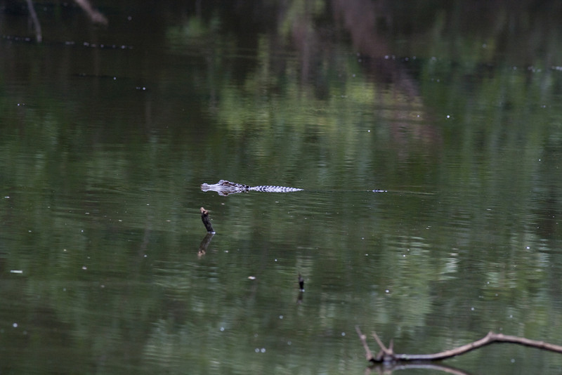 Gator swims by on oxbow lake Old Sabine Bottoms WMA
