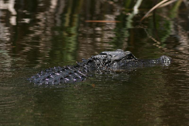Large alligator Aransas National Wildlife Refuge.