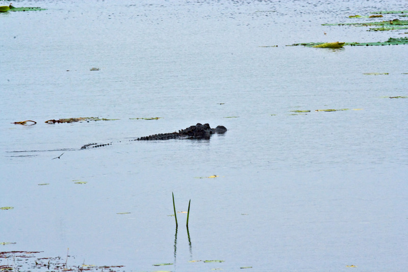 Very large alligator swimming across Jones Lake Aransas National Wildlife Refuge.