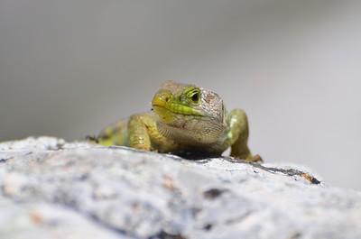 Ocellated Lizard