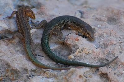 Lilford's Wall Lizards