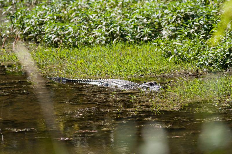 Gator sunning at Old Sabine Bottoms WMA near Tyler, TX