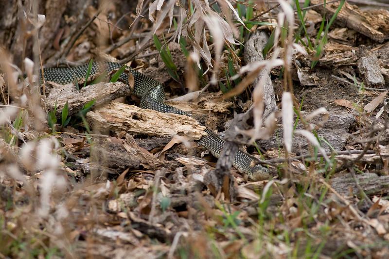 Speckled Kingsnake (Lampropeltis holbrooki)