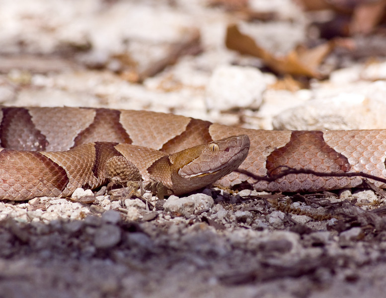 Southern Copperhead Agkistrodon contortrix ssp. contortrix