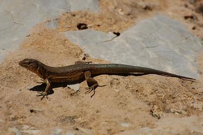 Lilford's Wall Lizard