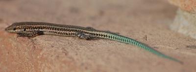 Wall Lizard - Podarcis hispanica