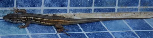 Lizard - Large Psammodromus (Psammodromus algirus)