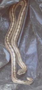 Ladder snake