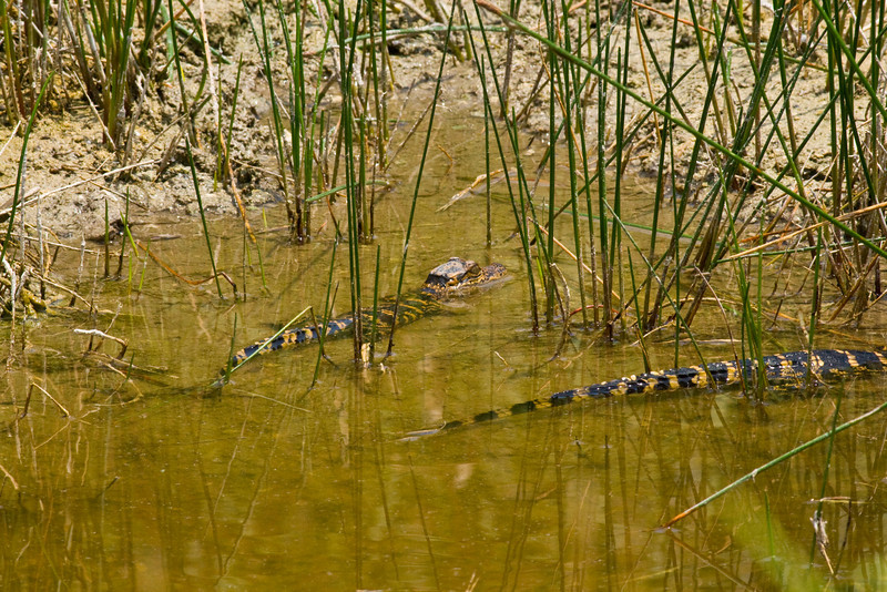 Young alligators in a brackish slough Aransas National Wildlife Refuge. There were 6 individuals in this pool of water.