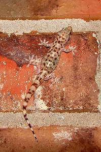 Mediterranean Gecko (Hemidactylus turcicus).  TX: Tarrant Co. (Duhons' Fort Worth yard), 11 July 2007.