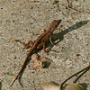 Green Anole (brown phase)