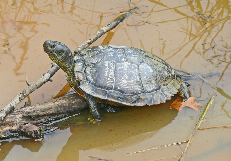 Old Red-eared Slider
