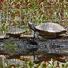 Eastern Painted Turtle and Red-eared Slider