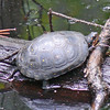 Spotted Turtle,