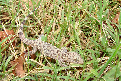 Mediterranean Gecko (Hemidactylus turcicus).  TX: Tarrant Co. (Duhons' Fort Worth yard), 23 June 2007.