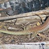 Red-backed Whiptail