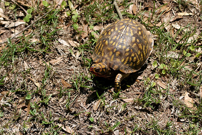 Possibly an Eastern Box Turtle (Subspecies Terrapene carolina major) - Florida Caverns State Park.