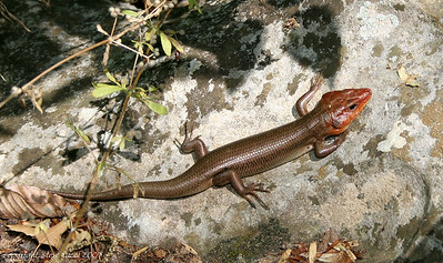 Broad Headed Skink (Eumeces laticeps) - Florida Caverns State Park.