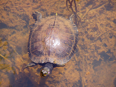 Turtle - Florida Panhandle