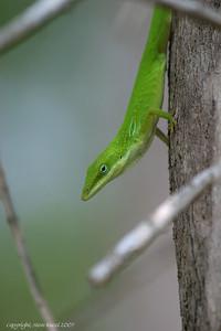 Green Anole (Anolis carolinensis) - Corkscrew Swamp Sanctuary.
