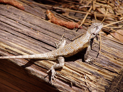 Lizard - Florida Panhandle