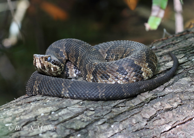 Water Moccasin at the ready