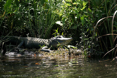 Alligator along the shore of the Suwannee River.