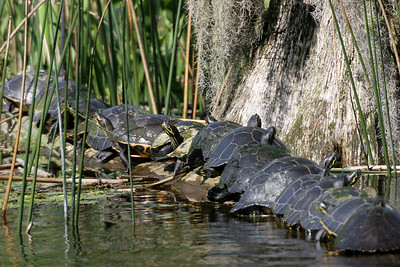 Turtles sunning on a log - Wakulla River