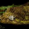 Bavay's Giant Gecko
