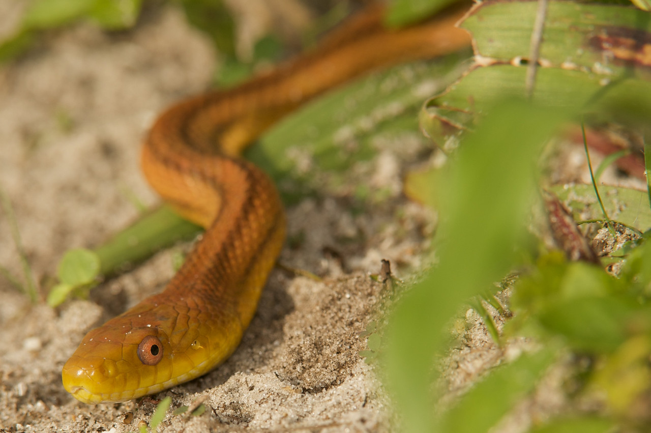 Loxahatchee-snake,macro,et al