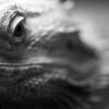 Eastern Bearded Dragon (Pogona barbata)<br /> Williamsburg, Virginia, USA<br /> IUCN status: Least Concern