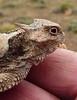 Northern Desert Horned Lizard (Phrynosoma platyrhinos platyrhinos)