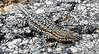Western Sagebrush Lizard (Sceloporus graciosus gracilis)