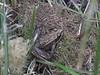 Rana Cascadae - Cascades Frog
