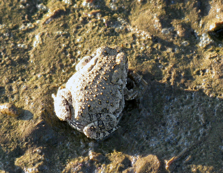 Woodhouse's Toad, (Bufo woodhousii)